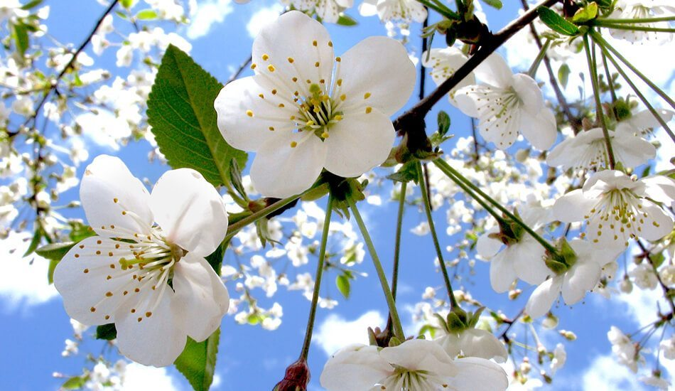 Spring flowers on trees after rain showers | HVAC | Stiles Heating, Cooling, & Plumbing